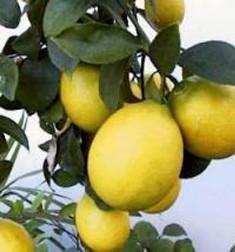 20080201103158-limones.jpg
